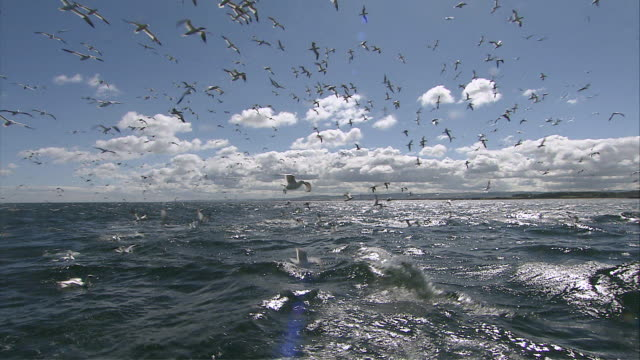 ms pov zi  flock of gannets flying / bass rock, firth of forth, scotland - firth of forth stock videos & royalty-free footage