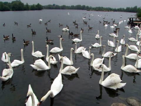 vidéos et rushes de flock of geese and swans, pan of lake, togetherness, family, idyllic, relaxation, protection - cygne tuberculé