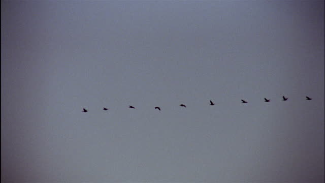 a flock of geese flies in formation. - birds flying in v formation stock videos and b-roll footage