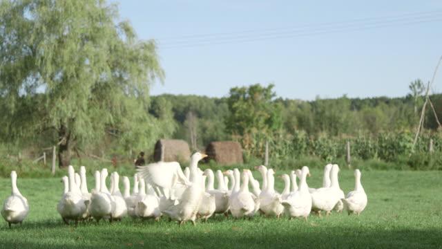 Flock of geese in field