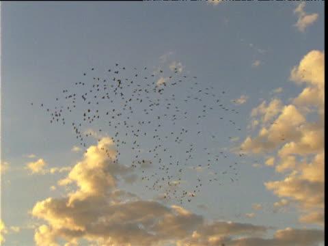 flock of glossy ibis fly in blue morning sky, diamantina, queensland, australia - 空気力学点の映像素材/bロール