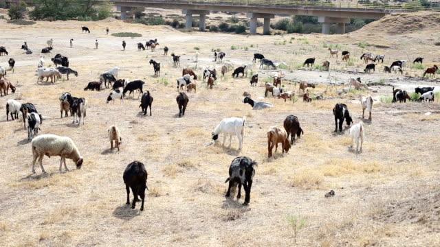 Flock of goats graze grass on hot summer day