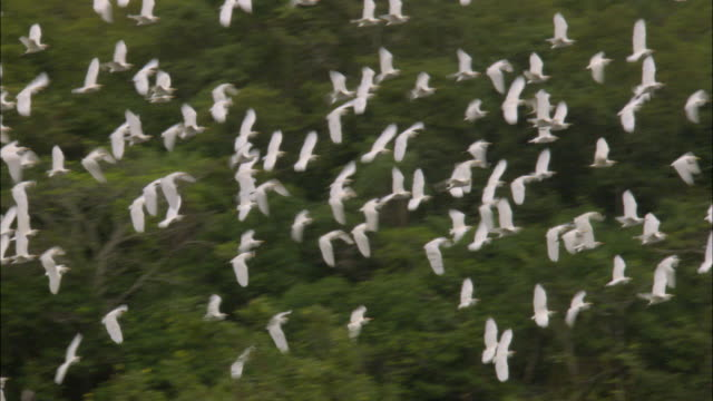 ws pan flock of great egret (casmerodius albus) flying above wetland / pantanal, mato grosso do sul, brazil - egret stock videos and b-roll footage