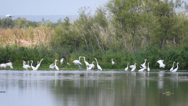 flock of great egrets - egret stock videos and b-roll footage