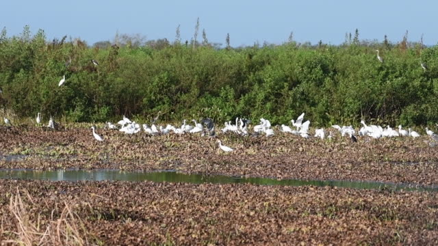 flock of great egrets - egret stock videos & royalty-free footage