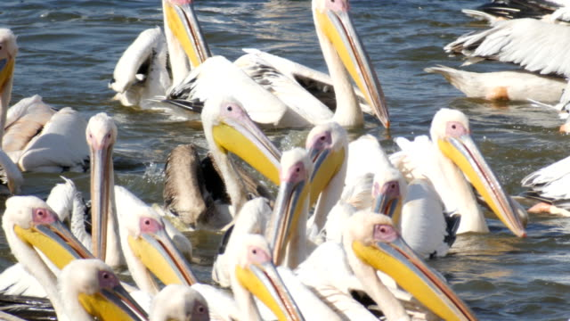 vídeos de stock e filmes b-roll de flock of great white pelicans feeding on fish - pelicano
