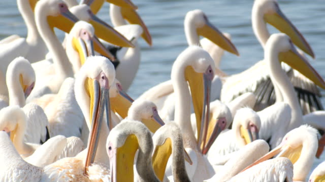 flock of great white pelicans feeding on fish - pelican stock videos & royalty-free footage