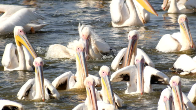 flock of great white pelicans feeding on fish - pelikan bildbanksvideor och videomaterial från bakom kulisserna