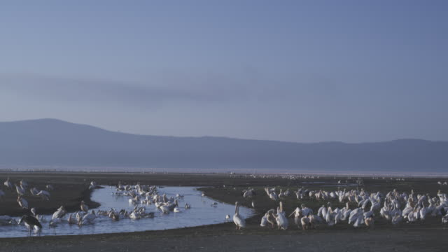 WS flock of Great White Pelicans wash and preen in pool with Lake Nakuru in background