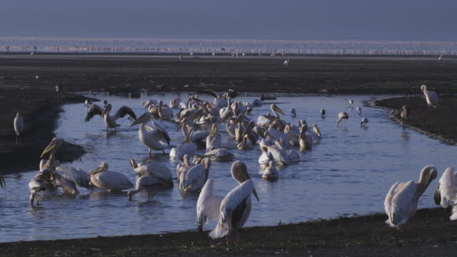 Flock of Great White Pelicans wash and preen in pool with Lake Nakuru in background