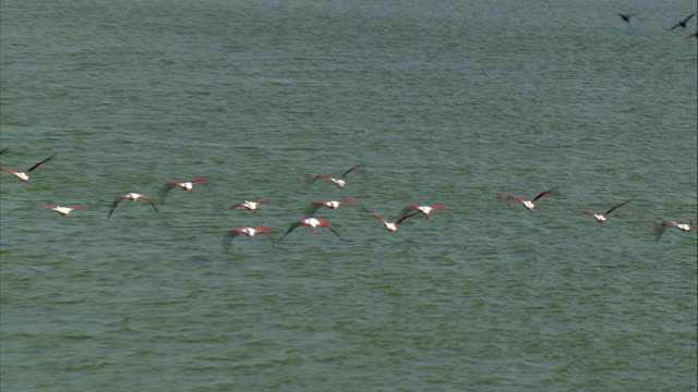 aerial flock of greater flamingo (phoenicopterus roseus) flying over wetlands / camargue, bouches-du-rhone, france - camargue stock-videos und b-roll-filmmaterial
