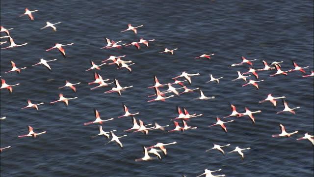 vidéos et rushes de aerial flock of greater flamingoes (phoenicopterus roseus) flying above lake zeekoevlei, near cape town, western cape, south africa - république d'afrique du sud