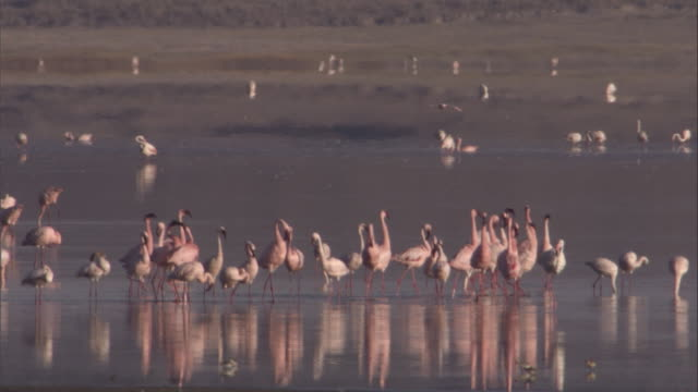 a flock of greater flamingos congregates on a lake. available in hd. - タンザニア点の映像素材/bロール