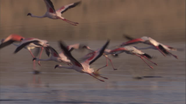 a flock of greater flamingos takes off and flies across a reflective lake. available in hd. - flamingo bird stock videos & royalty-free footage