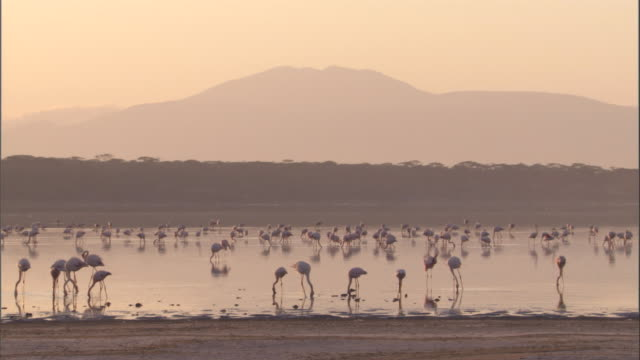 a flock of greater flamingos wade in a lake in front of a distant mountain. available in hd. - タンザニア点の映像素材/bロール