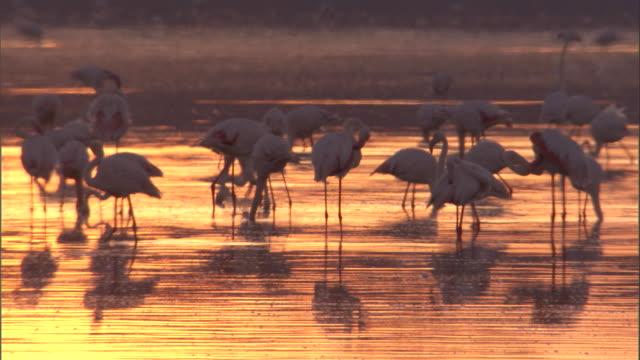 flock of greater flamingos wade through lake at sunset. available in hd - タンザニア点の映像素材/bロール