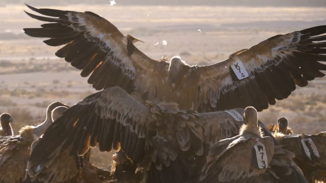 flock of griffon vultures (gyps fulvus) fighting and feeding on carcass in the desert - israel stock videos & royalty-free footage