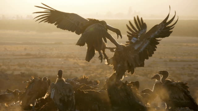 flock of griffon vultures (gyps fulvus) fighting and feeding on carcass in the desert - fighting stock videos & royalty-free footage