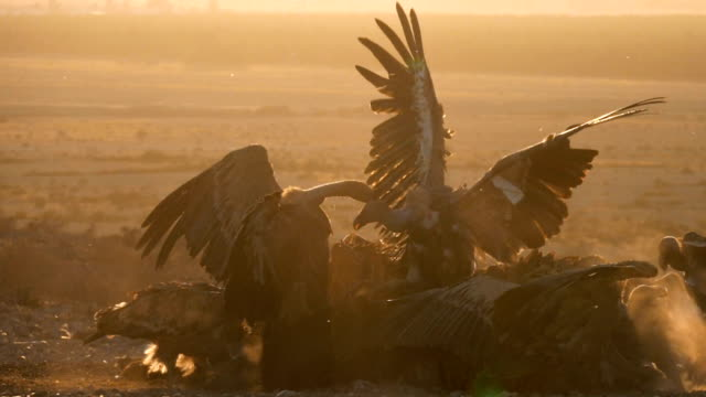 flock of griffon vultures (gyps fulvus) fighting and feeding on carcass in the desert - vulture stock videos & royalty-free footage