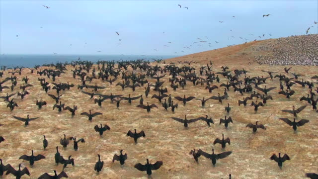 flock of guanay cormorants flying over desert / punta san juan, peru, south america - flock of birds stock videos & royalty-free footage