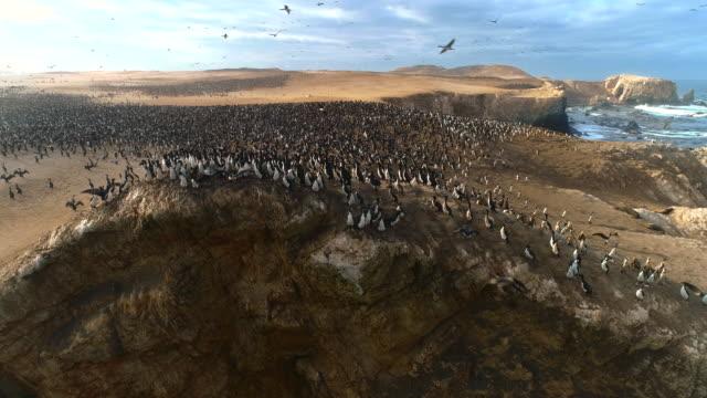 flock of guanay cormorants on coastal cliff / punta san juan, peru, south america - cliff stock videos & royalty-free footage