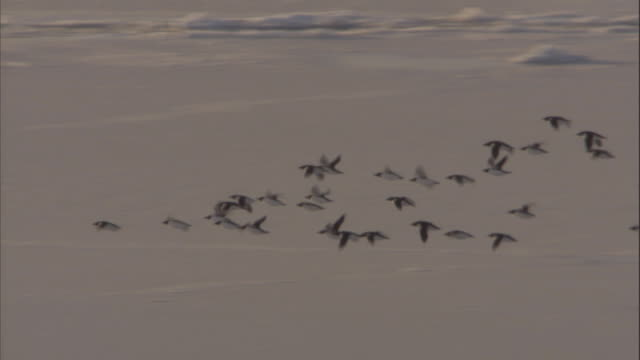 A flock of guillemots fly over an ice floe in Svalbard, Norway.