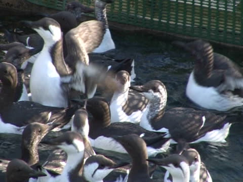 flock of Guillemots, MCU, swimming in enclosure, human interaction, protection, conservation. South, England, UK