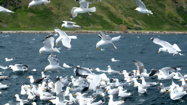 Flock of Gulls hunting sand eels in the sea/ view from a boat