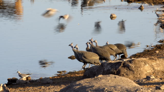 A flock of Helmeted Guineafowl (Numida meleagris) drinking water in Etosha National Park, Namibia