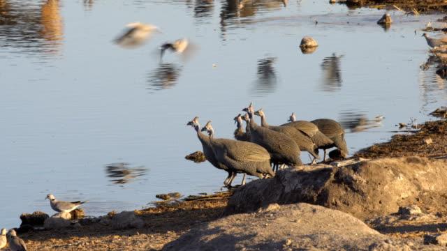 vidéos et rushes de a flock of helmeted guineafowl (numida meleagris) drinking water in etosha national park, namibia - groupe moyen d'animaux