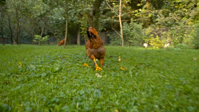 ws flock of hen - hen stock videos & royalty-free footage