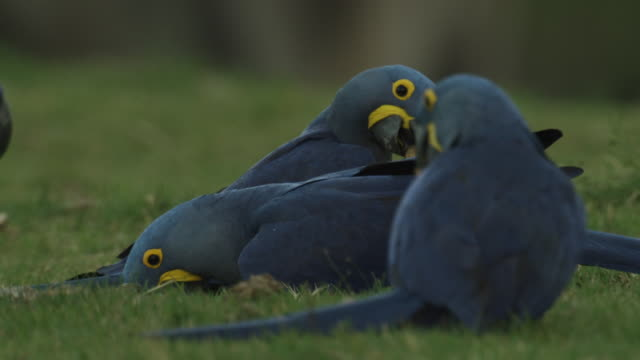 Flock of hyacinth macaws (Anodorhynchus hyacinthus) drink from wet lawn.