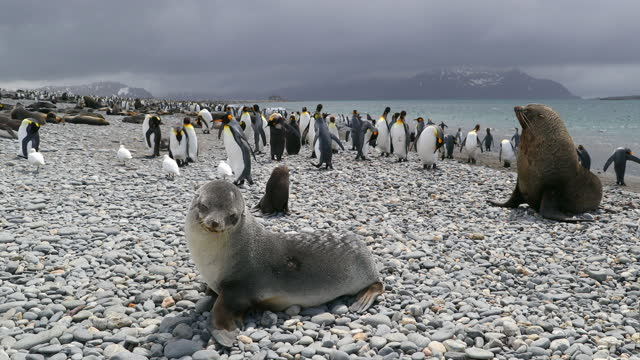 flock of king penguins and southern elephant seals on pebbled beach on cloudy day - southern elephant seal stock videos & royalty-free footage