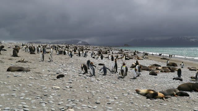 flock of king penguins and southern elephant seals on pebbled beach on cloudy day - insel south georgia island stock-videos und b-roll-filmmaterial