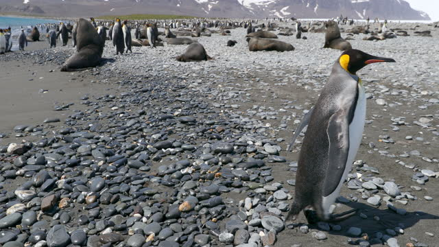 flock of king penguins and southern elephant seals on pebbled beach - southern elephant seal stock videos & royalty-free footage