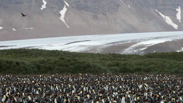 vidéos et rushes de flock of king penguins in landscape - île de la géorgie du sud