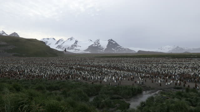 vídeos de stock e filmes b-roll de flock of king penguins in landscape with snow covered mountains in background - ilha geórgia do sul