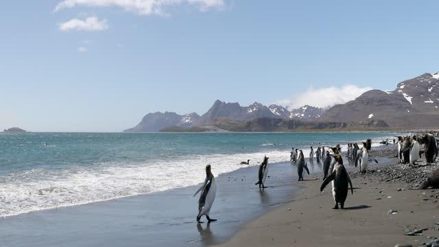 flock of king penguins on coast - south georgia island stock videos & royalty-free footage