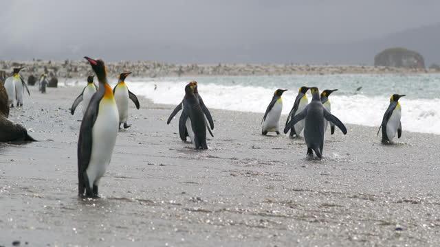 vidéos et rushes de flock of king penguins on coast - île de la géorgie du sud