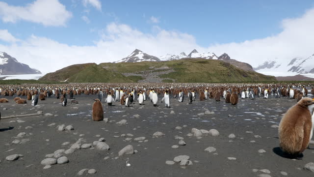 flock of king penguins on pebbled beach with snow covered mountains in background - south georgia island stock videos & royalty-free footage