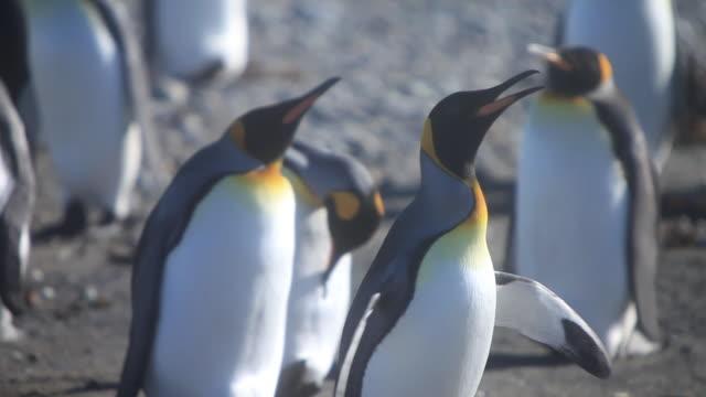vídeos y material grabado en eventos de stock de ms pan flock of king penguins standing / isla grande de tierra del fuego, chilean patagonia, chile - pingüino cara blanca