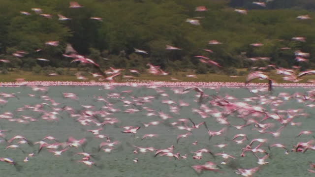 ms, flock of lesser flamingos (phoenicopterus minor) flying over lake naivasha, kenya - conformity stock videos & royalty-free footage