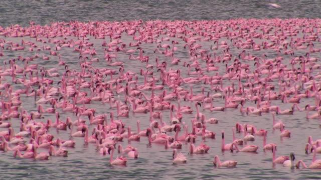 ws, ha, flock of lesser flamingos (phoenicopterus minor) in lake naivasha, kenya - flamingo stock-videos und b-roll-filmmaterial