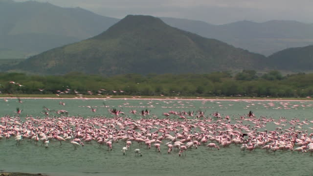ws, ha, flock of lesser flamingos (phoenicopterus minor) in lake naivasha, kenya - konformität stock-videos und b-roll-filmmaterial