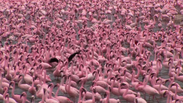 MS, HA, Flock of lesser flamingos (Phoenicopterus minor) in shallow lake, Lake Naivasha, Kenya