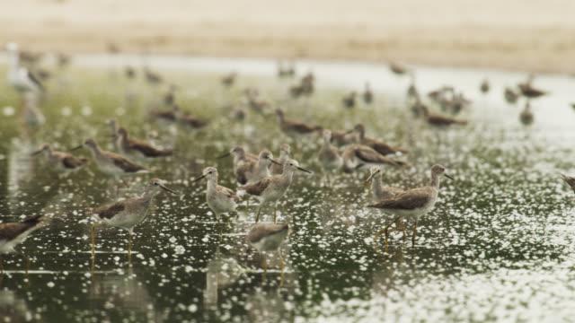 Flock of lesser yellowlegs (Tringa flavipes) wade through shallows.
