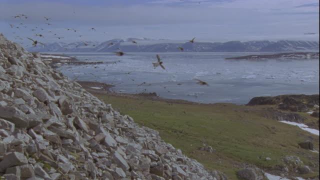 a flock of little auks flies past a rocky cliff in svalbard. - スヴァールバル諸島点の映像素材/bロール