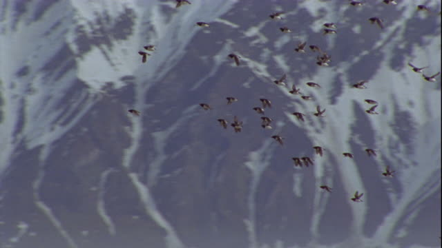 a flock of little auks flies past snowy mountains in svalbard, norway. - svalbard and jan mayen stock videos & royalty-free footage