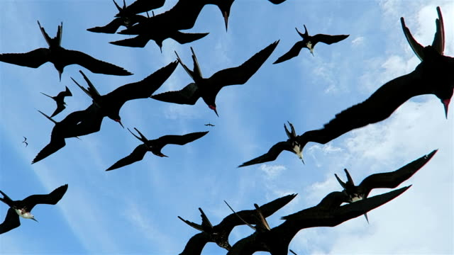 Flock of magnificent frigatebirds in the sky of Belize.