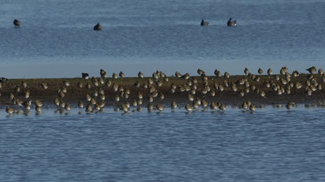 a flock of magnificent golden plover, pluvialis apricaria, resting and preening along with other wading birds on an island in freshwater estuary on the norfolk coast. - preening animal behavior stock videos & royalty-free footage